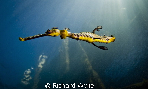 """Short Tail Weedy Seadragon"". This weedy seadragon has ha... by Richard Wylie"